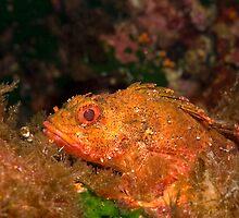 Grumpy scorpionfish by spyderdesign