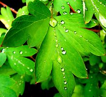 Water drops on a leaf. by Livvy Young