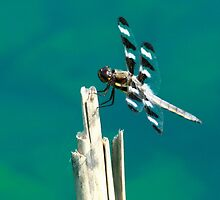 Twelve Spotted Skimmer by eaglewatcher4