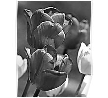 Shadowy Tulips Poster