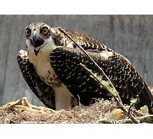 Mama Osprey protecting her nest Photographic Print