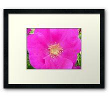 Beach Rose Framed Print