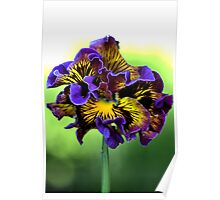 Shades of Frilly Pansy Poster