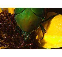 272 Green Shield Stink Bug Photographic Print