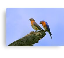 Nice Tail Feathers - Eastern Blue Birds Canvas Print