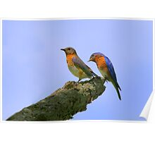 Nice Tail Feathers - Eastern Blue Birds Poster