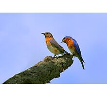 Nice Tail Feathers - Eastern Blue Birds Photographic Print