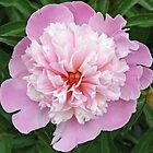 Pink Petticoat Peony by Kelley Shannon