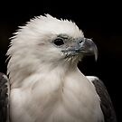White-Bellied Sea Eagle by Lisa  Kenny