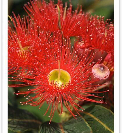 Eucalyptus flowers Sticker