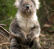 Koala posing - Otway Ranges, Victoria by Bev Pascoe