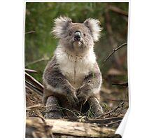 Koala posing - Otway Ranges, Victoria Poster