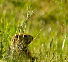 Groundhog in Field by Jean Meile