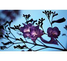 Jacarandas against a Blue Sky Photographic Print