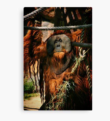 Urban the Orangutan, Quite a Character Canvas Print