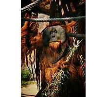 Urban the Orangutan, Quite a Character Photographic Print