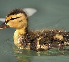 Little Mallard  by JamesA1