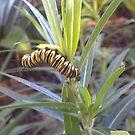 Cinnabar Moth Caterpillar by Camelot