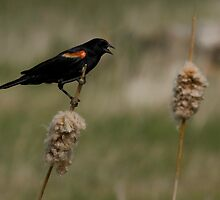 King of the Cattails by Coniferous