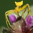 Yellow Spider by VladimirFloyd