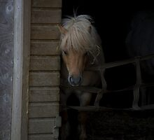 SHETLAND PONY by scarlet james