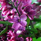 Lilac by ciriva