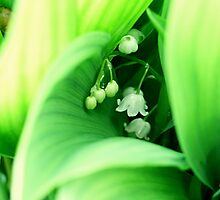Lily of the valley by ciriva