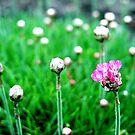 Poppy by ciriva