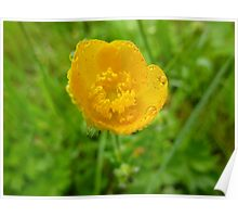 Dewy Buttercup Poster