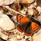 Small Copper by Durotriges