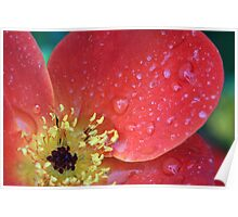 Wild Rose With Rain Poster