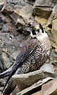 Peregrine Falcon (Falco Peregrinus) in quarry by buttonpresser