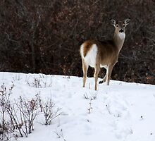 Whitetail in the Snow by Alyce Taylor