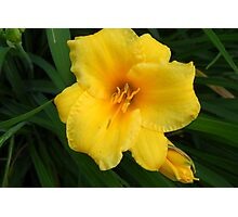 Day Lily Blooms Photographic Print