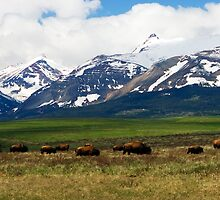 Bison on the Front Range by pvsnyder