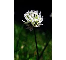 White clover Photographic Print