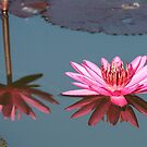 """""""Reflections"""" pink lilly , Mourilyan Harbour. Qld by Blackie"""