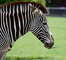 Zebra by iainf2010