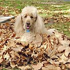 Rylie the poodle playing in the Autumn leaves by Trish Loader