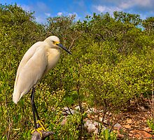 Snowy Egret by Bill Wetmore