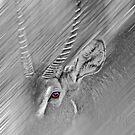 Waterbuck by miroslava