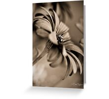 African Daisy Chocolate Style Greeting Card