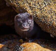 You cheeky mink!! by Shaun Whiteman