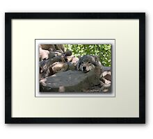 Siesta for Canis Lupus   Framed Print
