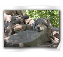 Siesta for Canis Lupus   Poster