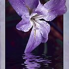 Iris Reflection by Elaine Teague