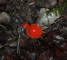 Red Toadstools in the rainforest by imaginethis