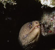 Golden Moray Eel by outcast1