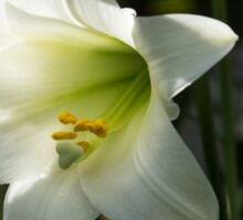 Divine Glow - Illuminated Pure White Easter Lily Sticker