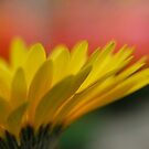Yellow Sunshine (gerber daisy)  by Jeff Stroud